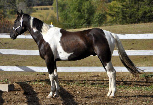 196 best images about Paint / Pinto Horses on Pinterest ...