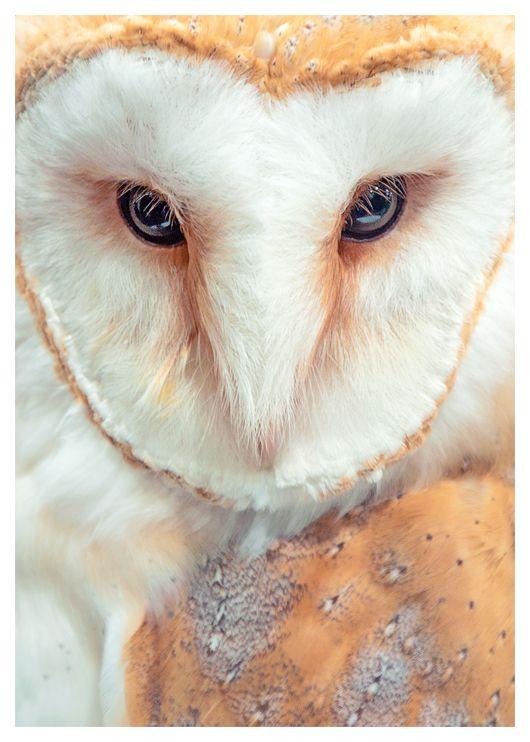 Tyto alba by Skia Pinned by www.myowlbarn.com