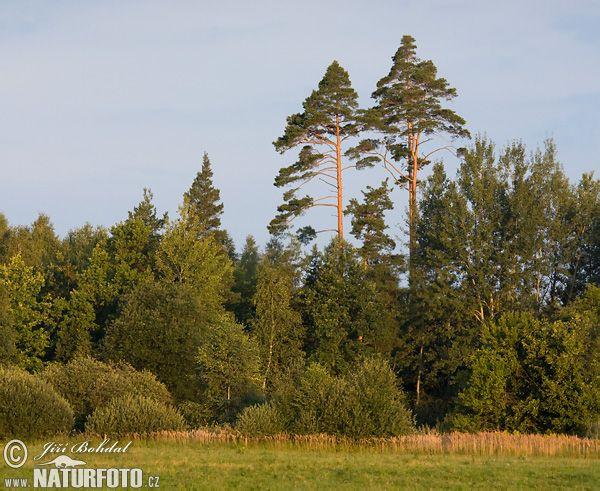 Borovice lesní.