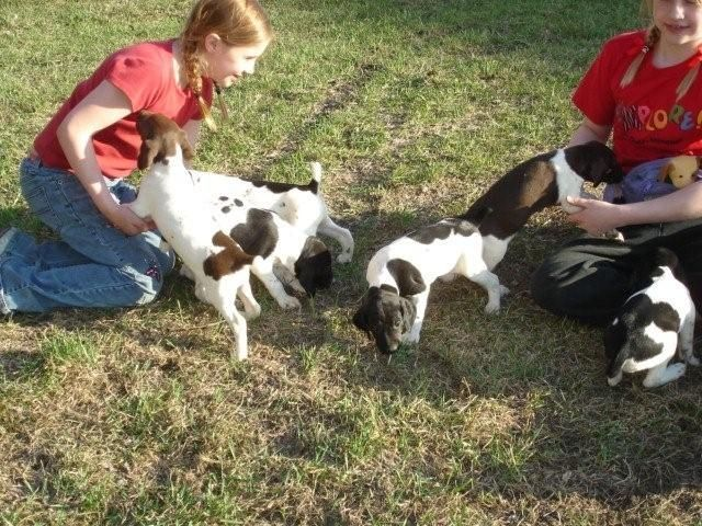 Wild Spur Kennels Hunting Dogs | German Shorthair Pointer Gallery | German Shorthaired Pointers in ND