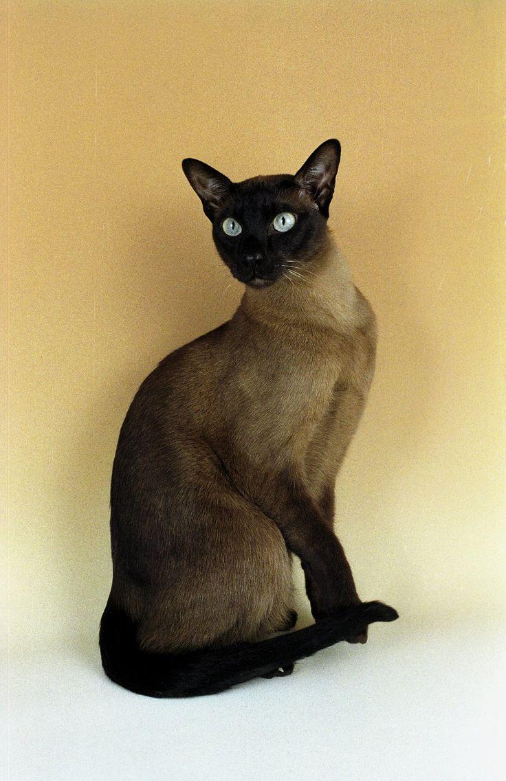 gato tonkinés / t...