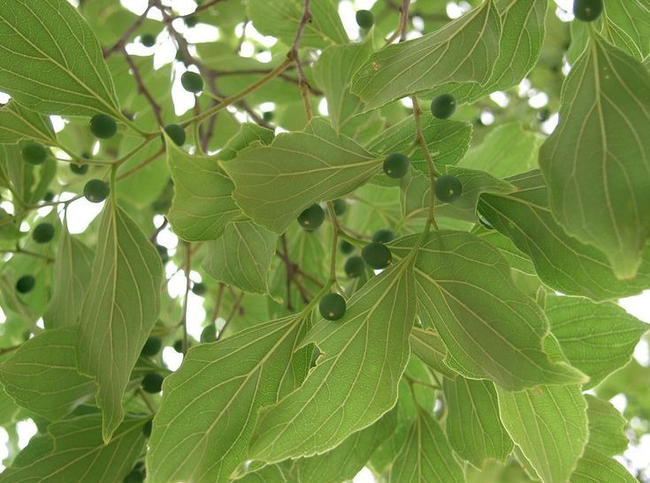 Green Fruit Tree Identification Part - 46: The Most Common North American Hardwood Trees