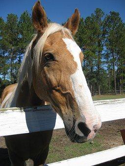 Лошадь, Забор, Ферма, Palamino