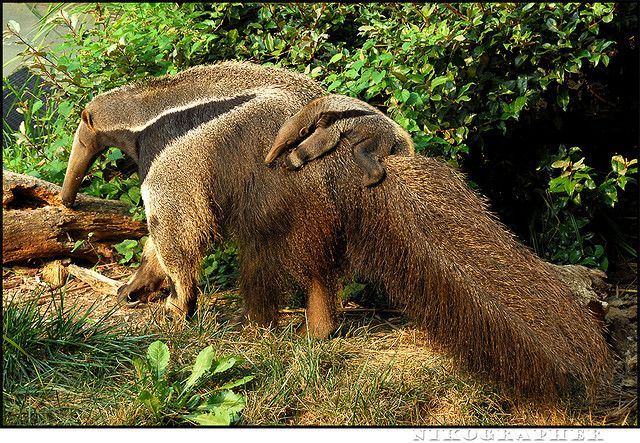 giant anteater and baby, my favoritest animal ever!