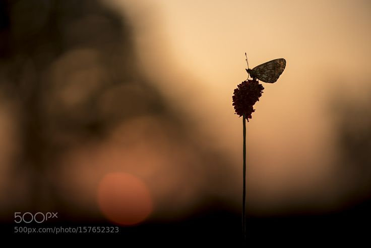 Small Pearl-bordered Fritillary at sunrise by ErikVeldkamp. @go4fotos