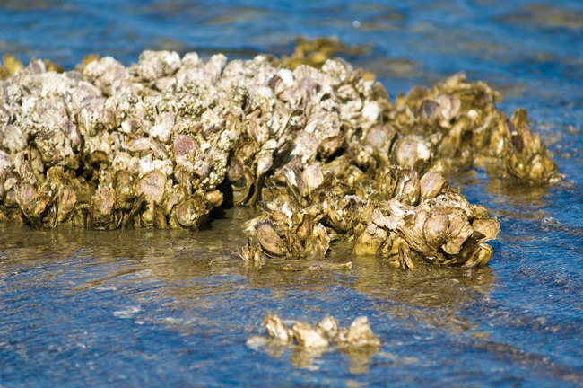 Natural Oyster Reef 49 best oyster reef im...