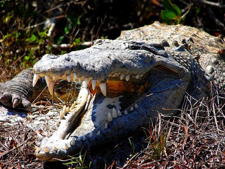 Australia is a fabulous place to see both freshwater and saltwater crocodiles in the wild and in Crocodile Farm and Tourist Centres. See how and where.