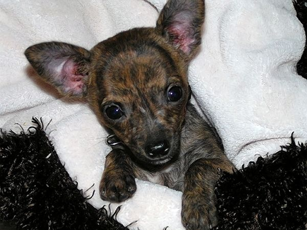 Brindle Chihuahua Dog Breeds Picture