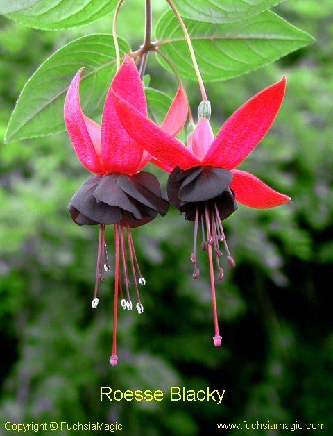 """Fuchsia Roesse Blacky also known as just """"Blacky"""""""