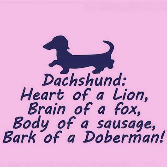 Dachshund <3 beautiful heart of a lion, brain of a fox, body of a sausage, and bark of a Doberman.!!