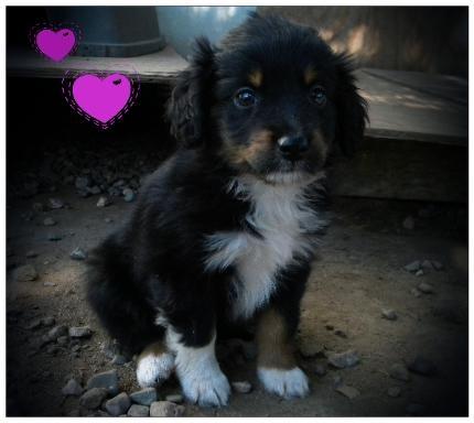 Mini Australian Shepherd Aussie Puppies For Sale Toy Miniature Australian Shepherd Puppy Pup Breeder