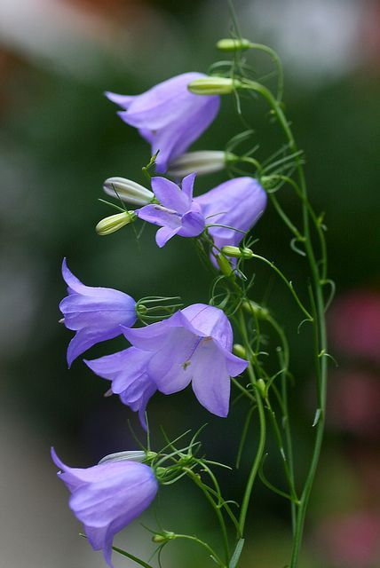 followthewestwind:    Bluebells by Liisamaria on Flickr.    Re-blogged pretty purple picture. (all-shades-of-purple):  Полевые  цветы.