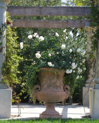 White Garden Rose Bush 615 best white garden images on pinterest
