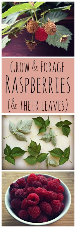 Growing and Foraging for Raspberries (and their Leaves)~ An awesome edible and medicinal plant that is easy to grow and forage for! www.growforagecookferment.com