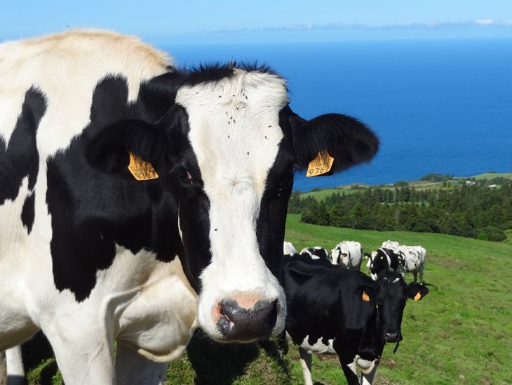 The most delicious diary products come from these beautiful cows  - Sao Miquel Acores - Portugal