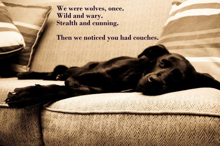 Need a couch buddy to snuggle with?  Adopt a lab! http://lab-rescue.org #lab #rescue #adopt