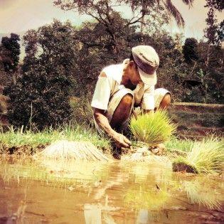 Rice Field Worker in Bali