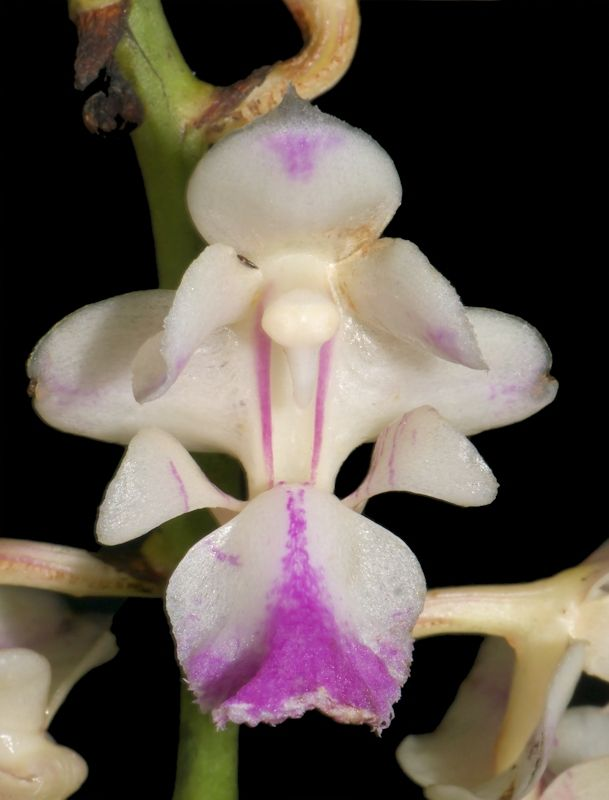Aerides falcata - Gallery Thailand - Ricci's Orchids Page