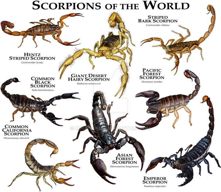 King scorpion animal - photo#54