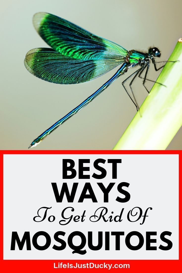 19 Best Ways To Get Rid Of Mosquitoes Naturally Garden Guide