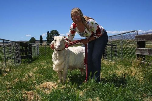 Meet Shrek, the famous Sheep from New Zealand he decided he didn't want to be shorn for 4 years. Cute story!