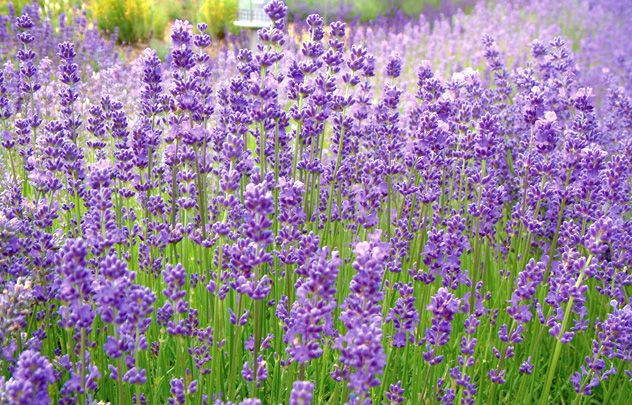 List Of Different Types Of Lavender Plant With Pictures Types Of Lavender Plants Lavender Plant Plants