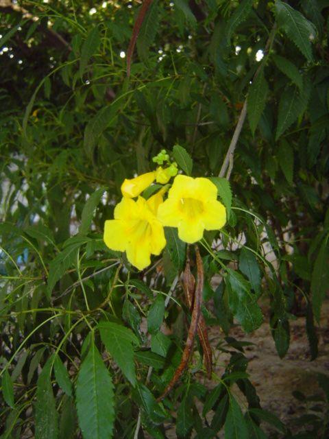 Ayuda cual es el nombre cientifico de arbol con flores - Arbol de rosas ...