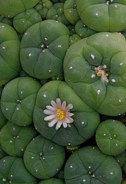succulent | patterns and textures / Peyote