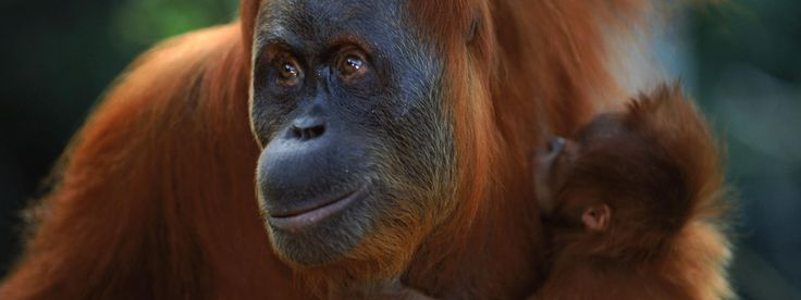 Sumatran Orangutan: Critically endangered, approximately 7,300 individuals