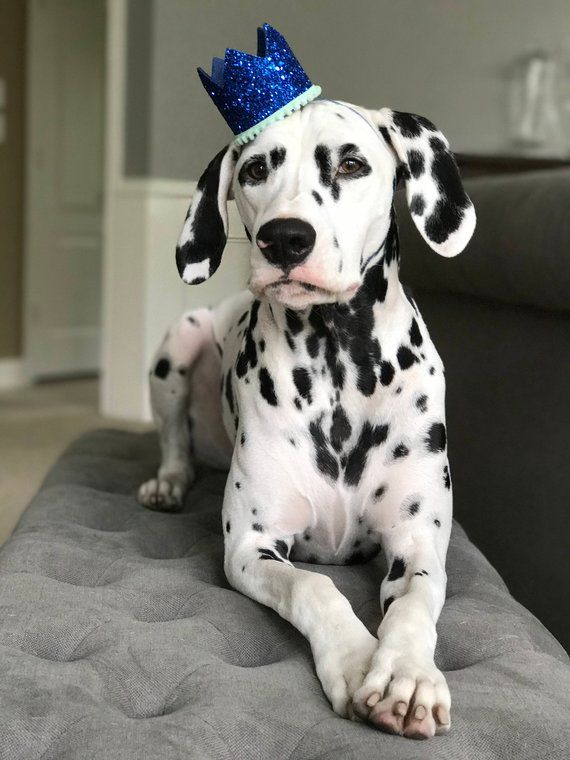 Dog Birthday Hat From Busters Party Shop Dog Birthday Hat Dog