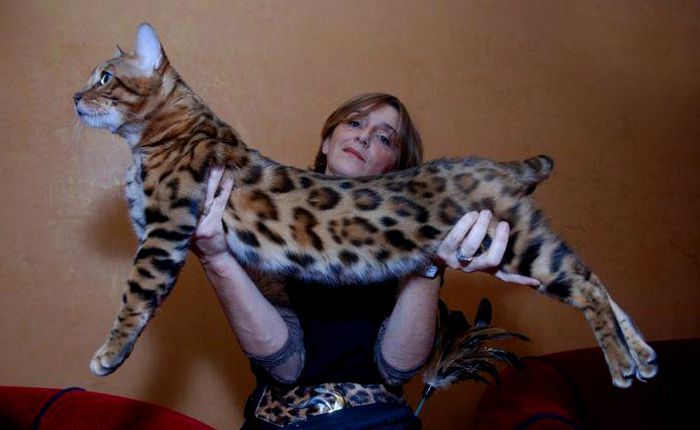 I WANT ONE SO BADLY!!  bengal show cat | International Champion Absolutely Walk This Way of Asian Safari