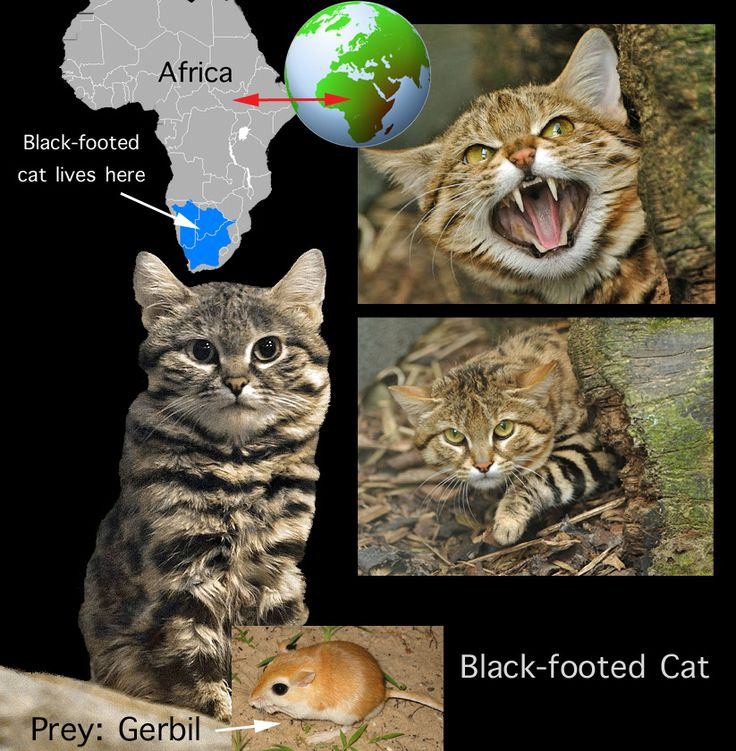 Blackfooted cat facts for kids Cat facts, Black footed