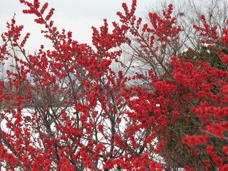 Winter Red Winterberry (Ilex verticillata 'Winter Red') Good choice for cold areas - Hardy to -40 degrees Fahrenheit (USDA zones 3 to 9, full sun to part shade, height 6' to 8' tall