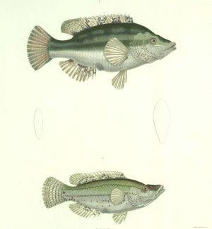 Pisces Coricus Brama Tab 20 Ch Frank 1842