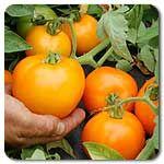 Organic Sunkist F1 Hybrid Tomato
