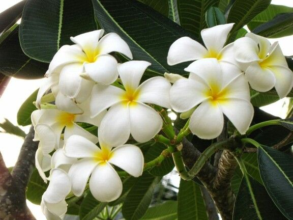 Beautiful temple flower, also known as fragipani. For an unique vacation in Sri Lanka contact: 0094774057757/ susantha2803@gmail.com