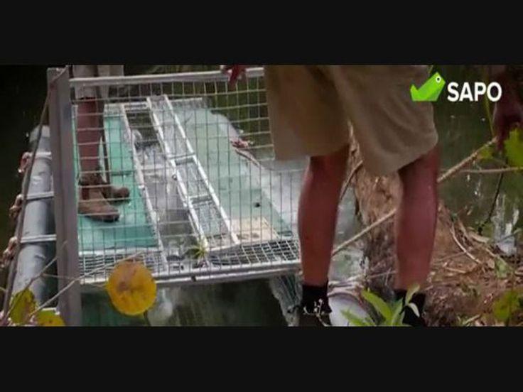 A polícia australiana capturou um crocodilo gigante de água salgada, um dos maiores e mais perigosos predadores desta família de répteis. O animal de 4 metros e 33 centímetros foi depois transferido para um centro especializado em vida selvagem.