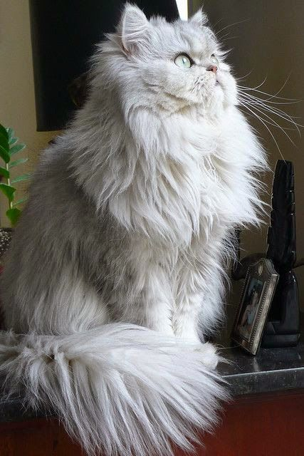 10 Things You Should Know about Persian Cats   Tabby Cat ...
