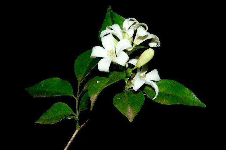 1000 ideas about jasmine plant indoor on pinterest. Black Bedroom Furniture Sets. Home Design Ideas