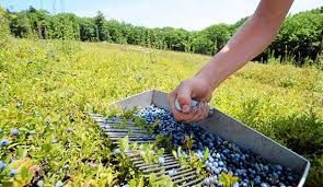 Image result for blueberry harvesting tool made of trash