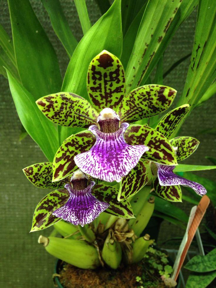 Willowbrook #Orchids — Lorenara Laura Newton 'Rachel Emery' AM/AOS... http://dennisharper.lnf.com/