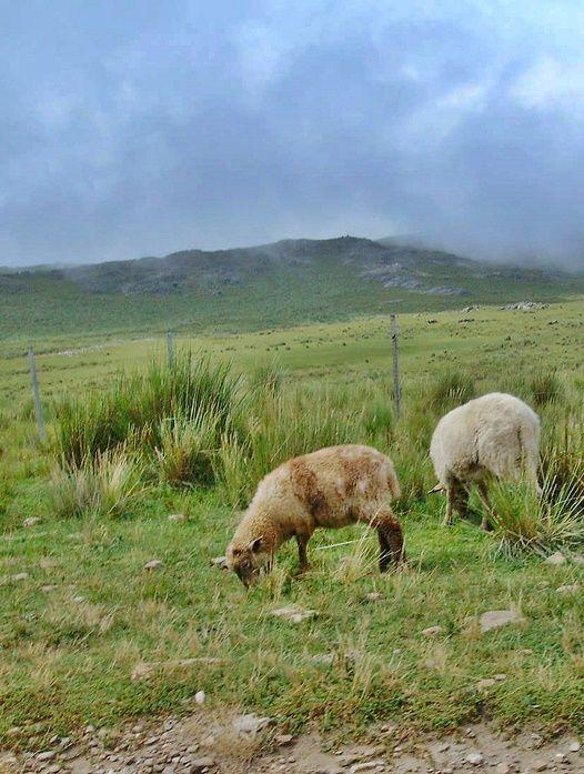 Sheeps (Ovejas) | Merlo | San Luis | Argentina