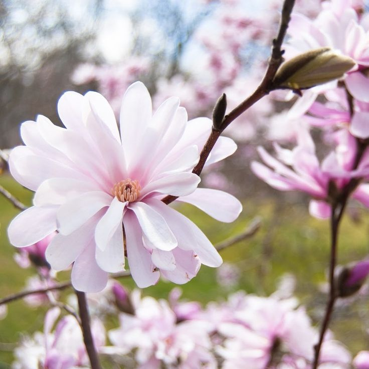 Magnolia stellata Royal Star 80-100cm 80 - 100cm - Veky Garden