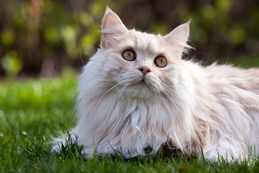 Facts about Manx cats Click the picture to read
