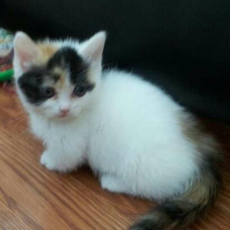 Are Munchkin Cats Healthy | Munchkin Napoleon Bi-eye ...