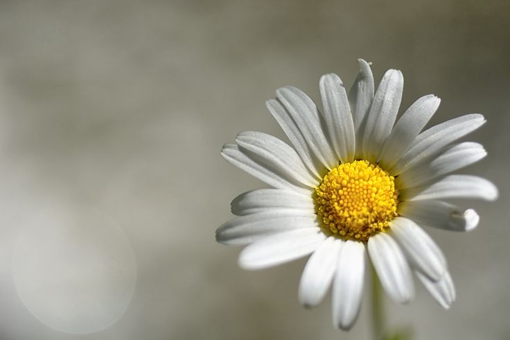 Margherita - Basta scrivere daisy o daisies, è una margherita