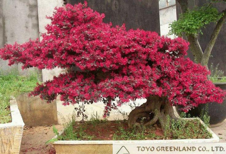 red flower Loropetalum chinense for ornamental outdoor landscaping ...