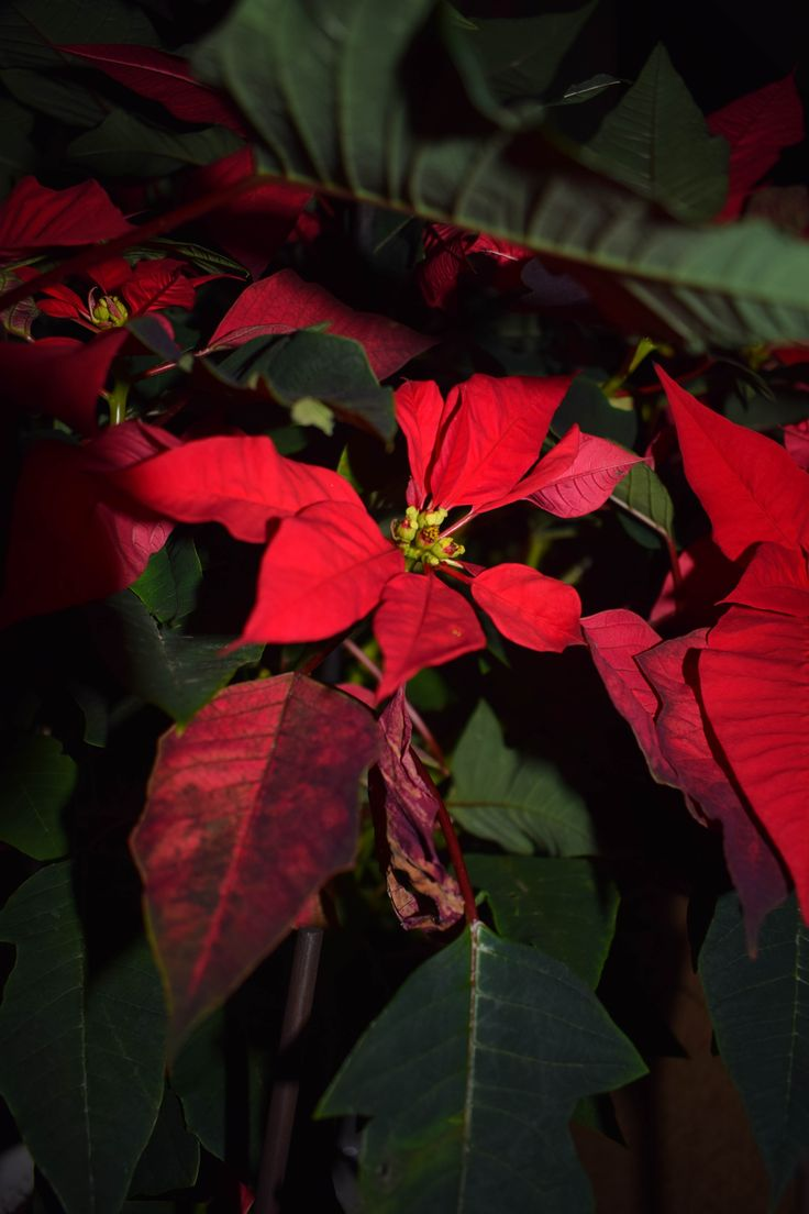 POINSETTIA,(ΑΛΕΞΑΝΔΡΙΝΟ) In the dark, always we can find the light!!!! by E_Klou