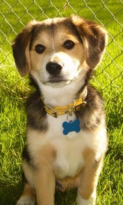 """American Eagle"": Eskimo/Beagle cross (designer mutt) very cute and very close to one of my shelter dogs."