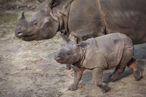 Le bébé rhinocéros indien né à Planckendael a effectué ses premiers à l'extérieur - Zoonaute.net
